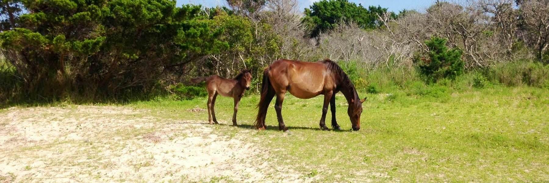 Shackleford Bank horses - courtesy National Park Service