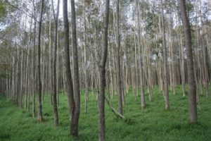 rows of trees with a short understory