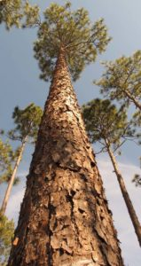 vertical photo of longleaf pine trees
