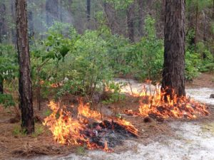 picture of prescribe fire beginning to burn in forest understory