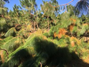 young longleaf pine trees damaged by hurricane