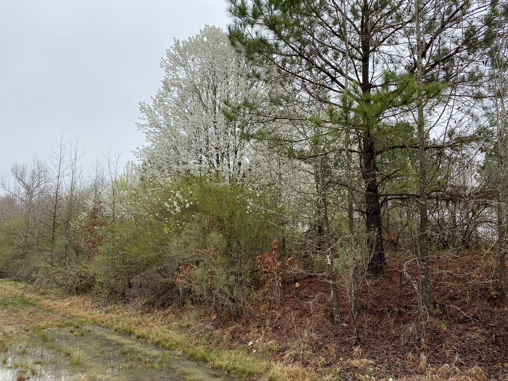 invasive callery pears growing along a railroad track