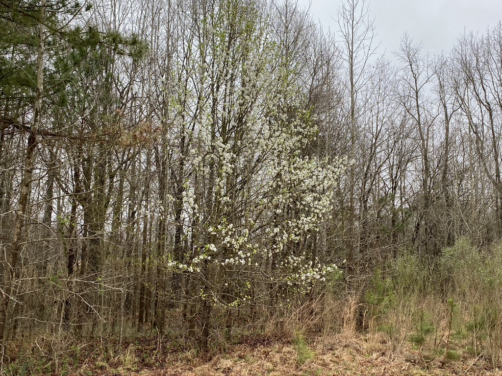 Invasive callery pear trees starting at the edge of the forest.