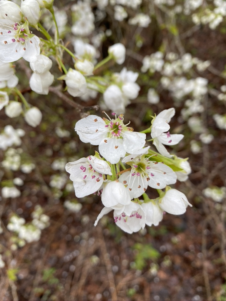 flower of callery pear
