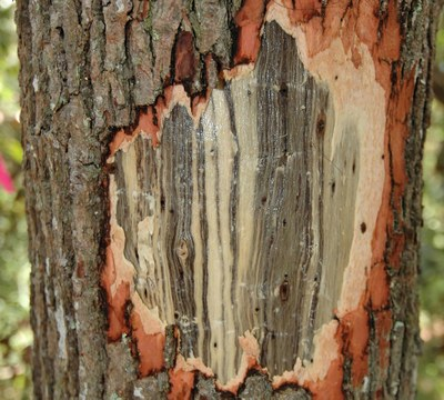 Damage due to laurel wilt disease on tree