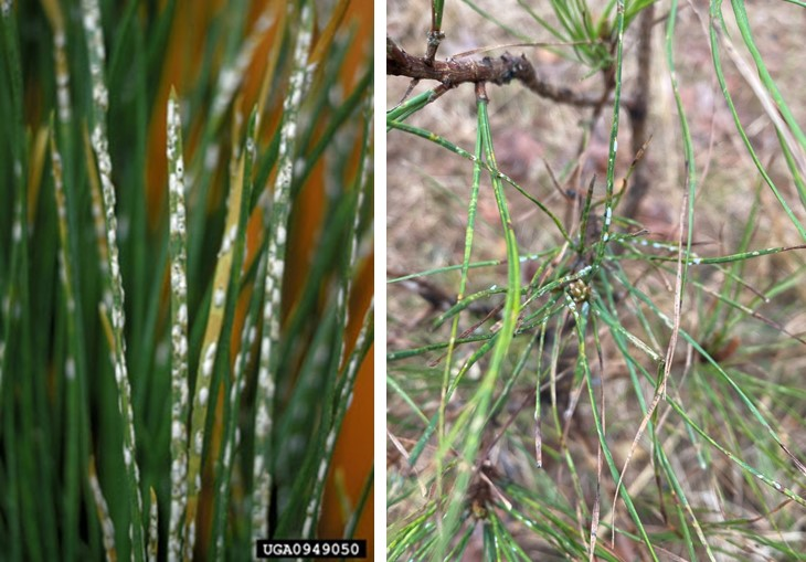 Images show heavy and light infestations of pine needle scale on pine needles.