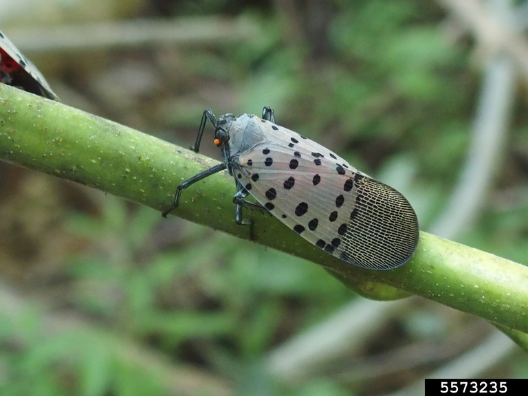 Adult spotted lanternfly (wings are gray with black spots) rest on a stem.